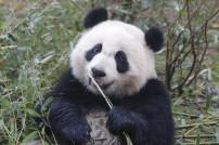 Zoo-Tier: Panda beim Fressen