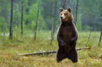 Paketdiebstahl: Bär steht auf den Hinterbeinen im Wald