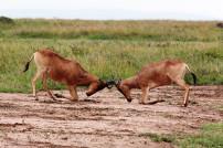 kämpfende Tiere